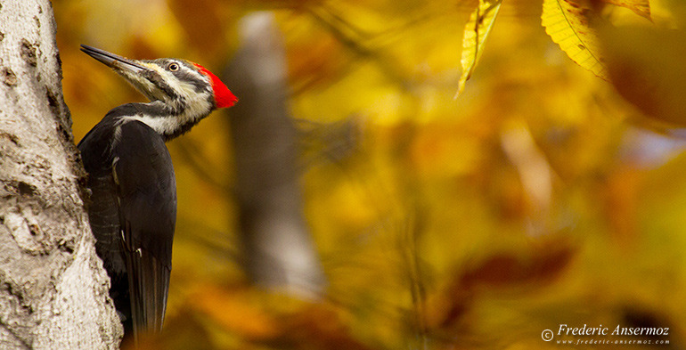 Pileated woopecker on trunk in Autumn